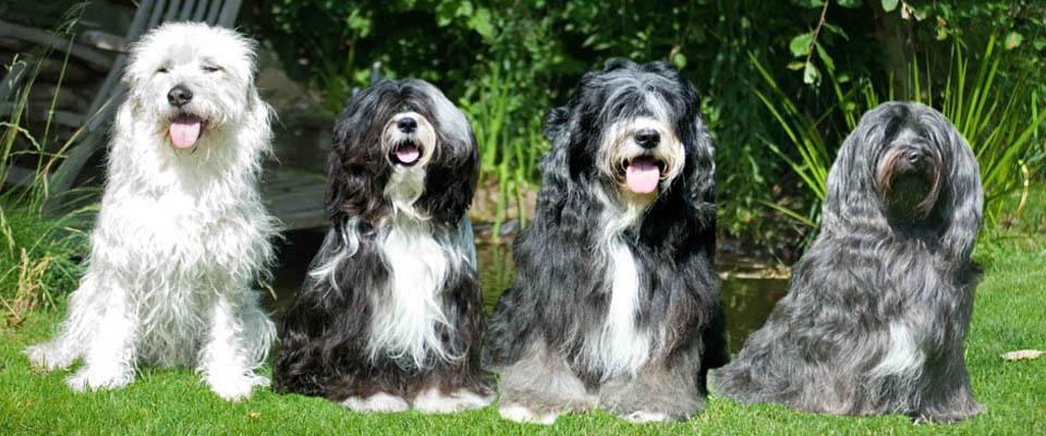 Indrugopa Tibet Terrier